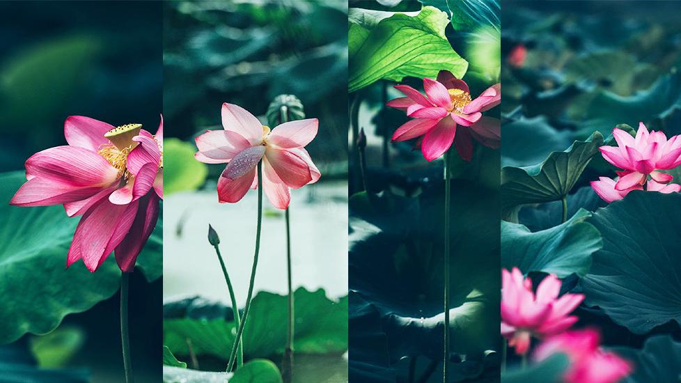 Ngủ yên 100 năm, hoa sen bổng mở mắt nở bừng thanh khiết