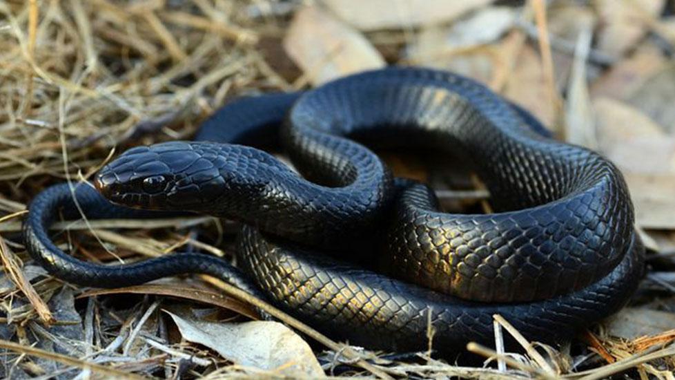 Khám phá loài rắn miễn nhiễm với nọc độc