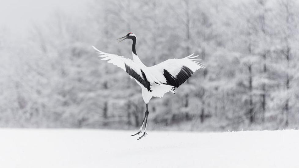 Bí ẩn loài chim biểu tượng cho lòng trung thành và trường thọ