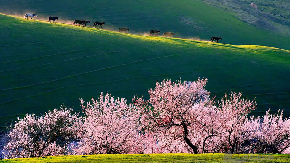 Thung lũng hoa mơ đẹp lịm tim ở Tân Cương