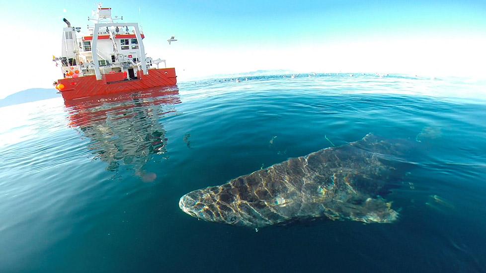 Loài cá mập sống lâu nhất Trái Đất, có tuổi thọ hơn 500 năm