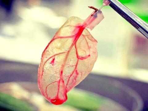 Biến rau cải thành... tim người!