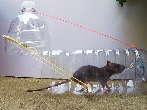 Những cách bẫy chuột độc đáo và hiệu quả nhất