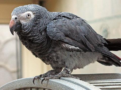 Bạn đã biết gì về loài chim thông minh nhất thế giới?