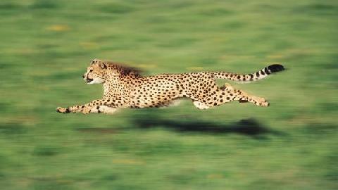 10 động vật chạy nhanh nhất hành tinh!