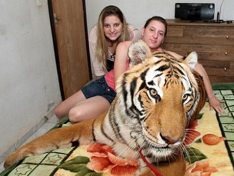 Gia đình 'máu mặt' sống cùng 7 con hổ khổng lồ