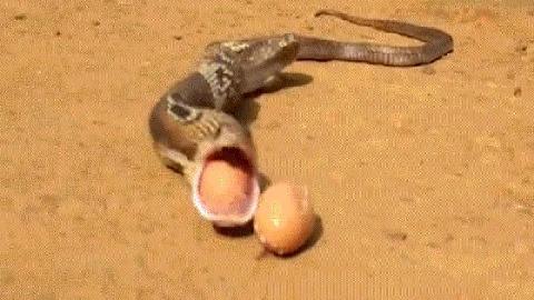 Nuốt trộm 7 quả trứng gà, rắn hổ mang nôn trả cả 7