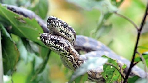 Cái cây chi chít rắn độc gây shock