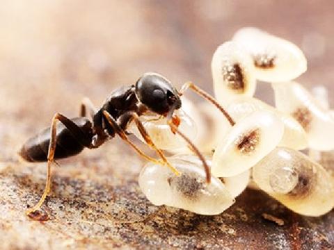 Cơ thể con người sẽ ra sao nếu thu nhỏ như kiến?