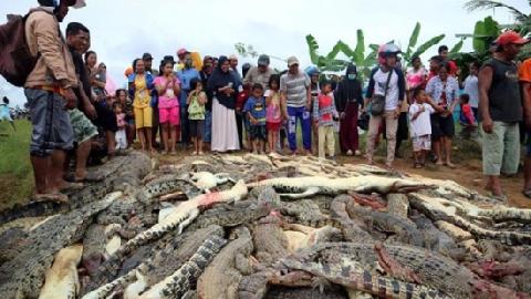 Giết gần 300 con cá sấu trả thù cho một người bị chết