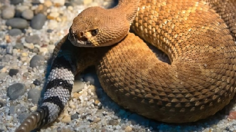 Bí ẩn bên trong loài rắn cực độc có chiếc đuôi biết kêu