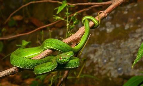 Loài rắn độc khiến vết cắn bị hoại tử trong chớp mắt