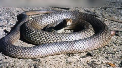 Cận cảnh loài rắn độc thứ hai thế giới cực nguy hiểm