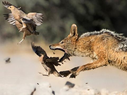 Khi loài chó nhảy lên đớp mồi thì tứ chi chúng hoạt động ra sao?