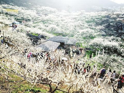 Mộc Châu đẹp nhất mùa hoa mận trắng