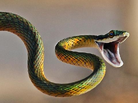 Trái tim của rắn