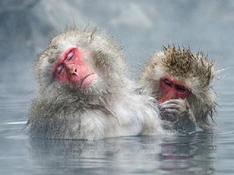 Thời tiết giá lạnh, khỉ rủ nhau ngâm suối nước nóng, đốt lửa trại nướng khoai ăn