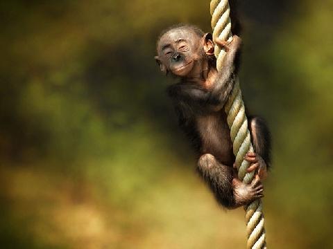 Khi đàn khỉ chơi trò đu dây tinh nghịch