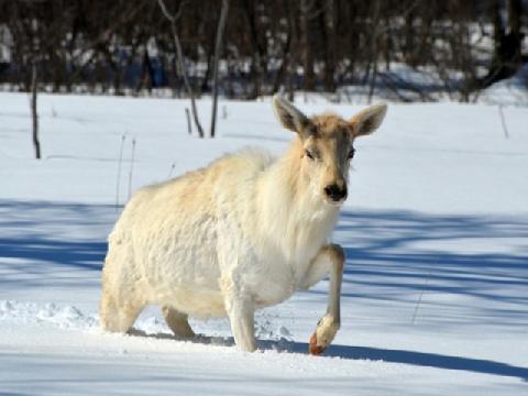 Khi nai sừng tấm bước đi trong băng tuyết