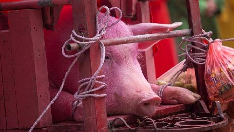 Lễ rước hai 'ông lợn' đi quanh làng nhận lì xì ở Bắc Ninh