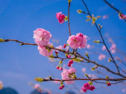Muốn sang Nhật ngắm hoa anh đào phải nắm rõ lịch này