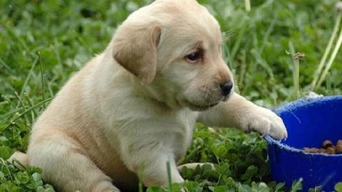 Cảm động cún con nhịn đói nhường thức ăn cho chó mẹ