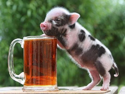 Lợn mini - trào lưu nuôi pet mới của giới trẻ