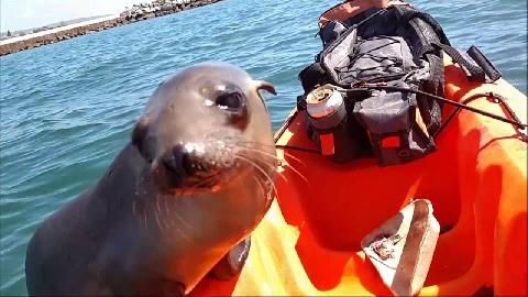 Hải cẩu tấn công, ném bạch tuộc vào mặt người chèo thuyền