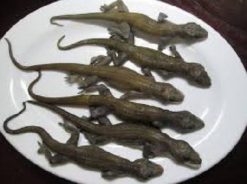 Lột da, ăn sống tắc kè để sinh tồn trong rừng rậm