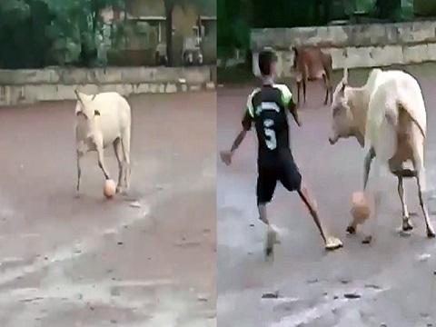 Con bò giữ bóng chắc hơn cả siêu sao bóng đá!