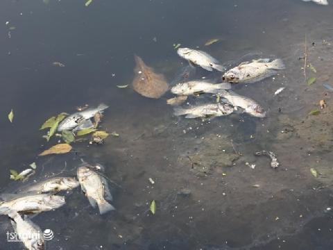 Dừng nhận nước hồ Tây, cá sông Tô Lịch chết trắng bụng
