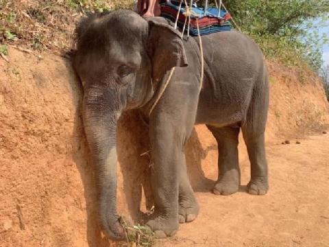 Xót xa cảnh voi bị bạo hành để phục vụ du lịch ở Thái Lan