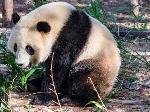 Phẫn nộ: Du khách ném đá gấu trúc Bắc Kinh để giải trí!