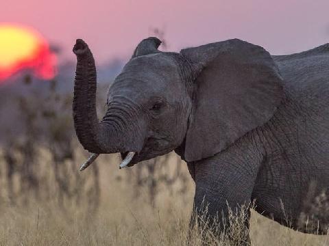Loài voi có thể dạy chúng ta điều gì trong cuộc sống