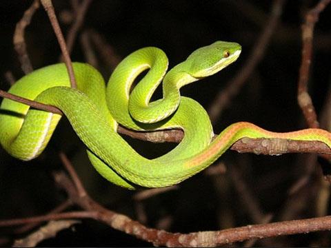 Cách nhận biết những loài rắn độc nhất Việt Nam - Phần 1