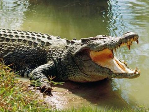 Hoảng loạn vì cá sấu siêu to khổng lồ xuất hiện trên sông