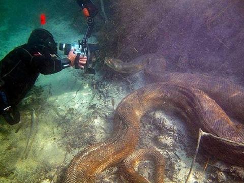 Sởn da gà bơi cùng trăn anaconda siêu to khổng lồ dưới lòng sông