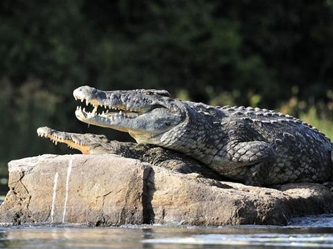 Bạn sẽ bất ngờ khi chứng kiến cá sấu dịu dàng đến lạ
