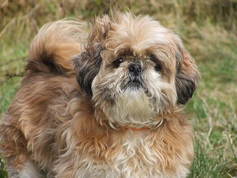 Chó suýt mất mạng vì lông nặng hơn người