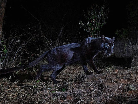Báo đen xuất hiện tại châu Phi sau gần 100 năm