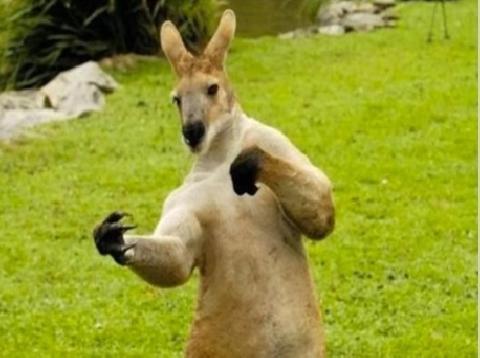 Gạ người đánh nhau hài như kangaru