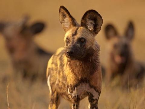 Bộ lông 'độc nhất vô nhị' của chó hoang châu Phi