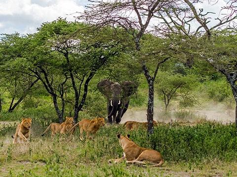 Voi giận dữ đuổi sư tử ăn xác trâu rừng