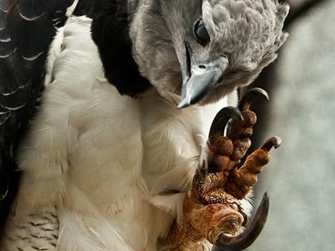 Loài đại bàng có móng vuốt to hơn vuốt gấu