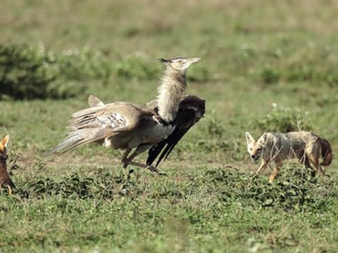 Loài chim biết bay nặng đến 18 kg