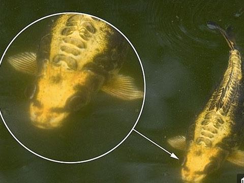 Cá chép có khuôn mặt giống người gây xôn xao