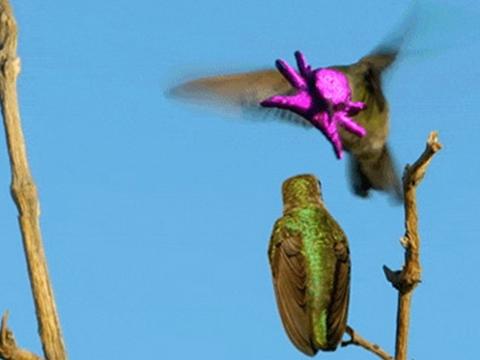 Học kỹ năng tán tỉnh bạn tình độc đáo như chim ruồi đực