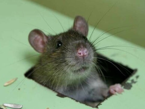 Ngạc nhiên với cách chuột đồng gắn kết trọn đời với nhau