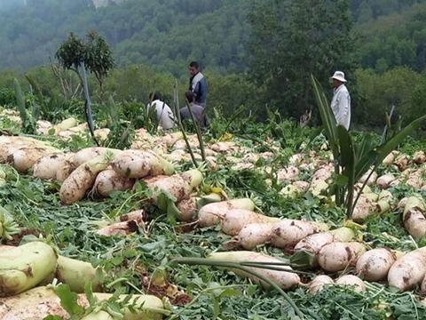 Cho hàng xóm xin vài củ cải, nông dân mất trắng vụ mùa