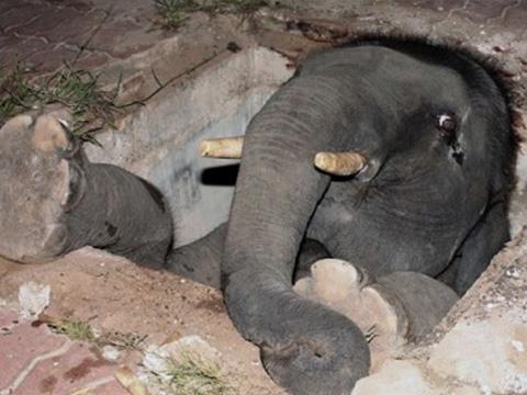 Thót tim xem cảnh giải cứu voi bị kẹt ở cống nước